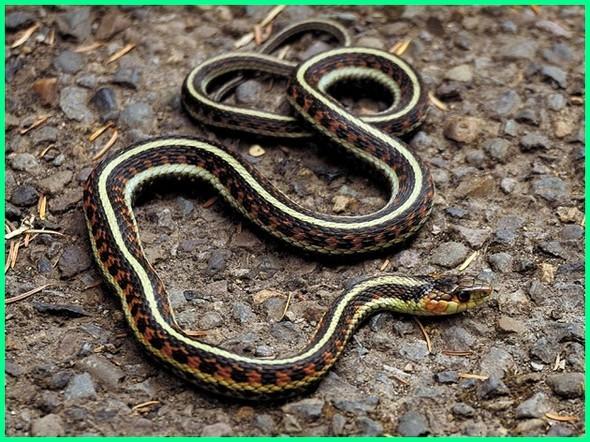 ular yg paling cocok untuk pemula