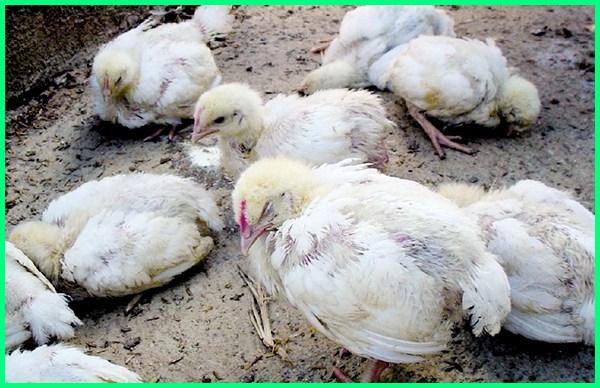 penyakit gumboro pada ayam petelur, penyakit gumboro pada ayam pedaging, penyakit gumboro pada ayam, gejala penyakit gumboro penyakit gumboro