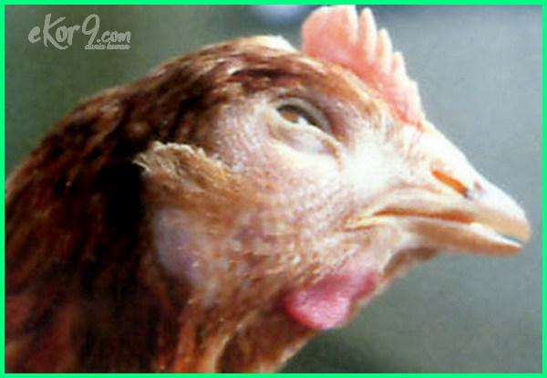 ayam snot