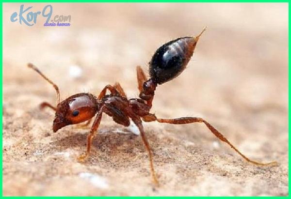 semut terkuat, semut terkuat di dunia, semut hewan terkuat, semut binatang terkuat, semut adalah binatang terkuat, jenis semut terkuat, semut adalah hewan terkuat