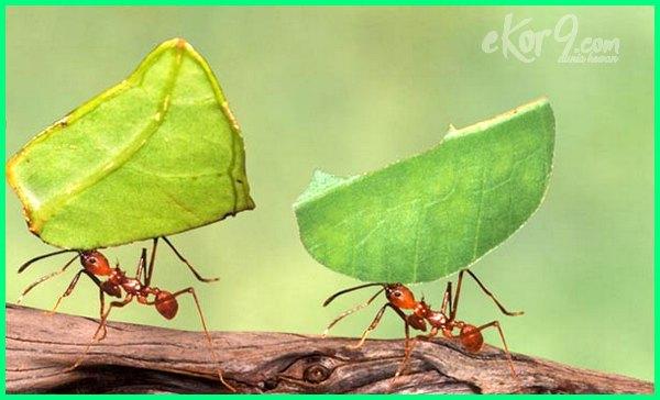 semut yang bekerja kuat, semut paling kuat, semut binatang kuat, gambar semut kuat, semut yang paling kuat, kenapa semut sangat kuat