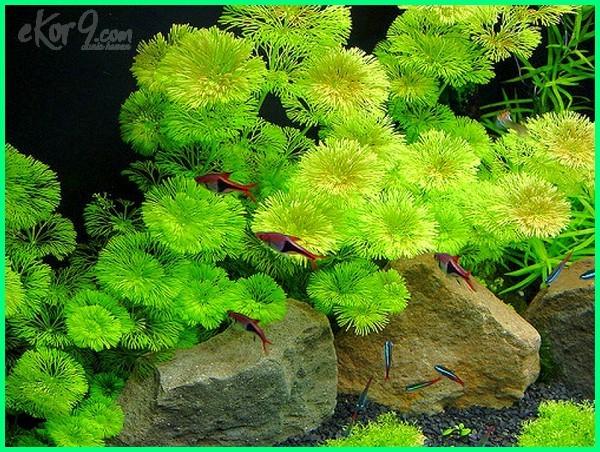 tanaman air oksigen penambah penghasil di dalam kaya yang menghasilkan yg mengandung tawar jenis tanpa