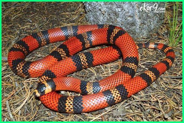 ular untuk pemula, jenis ular bagi pemula, memelihara ular bagi pemula, ular yg cocok untuk pemula, cara merawat ular untuk pemula