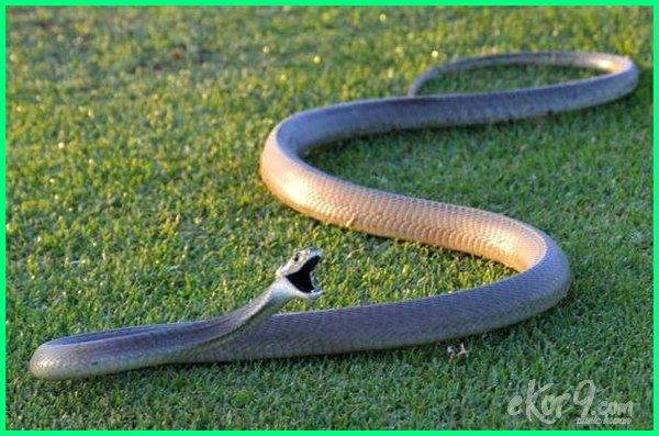 ular yg paling bisa, gambar ular paling bisa, ular dengan bisa paling mematikan, ular dengan bisa paling berbahaya, bisa ular paling berbahaya, bisa ular paling beracun
