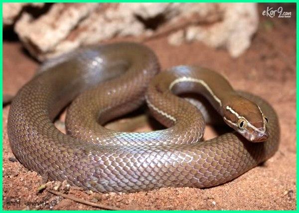 ular yang cocok buat pemula, ular yang cocok bagi pemula, tips memelihara ular bagi pemula