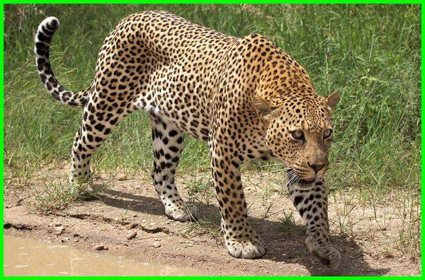 hewan hewan buas dalam bahasa inggris