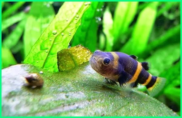 macam dan jenis ikan hias air tawar, jenis jenis ikan hias di air tawar, jenis ikan hias air tawar ekspor, jenis ikan hias air tawar untuk ekspor, jenis2 ikan hias air tawar, jenis ikan hias air tawar indonesia