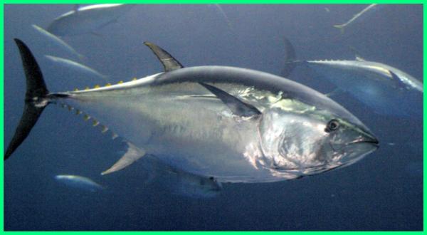 Southern Bluefin