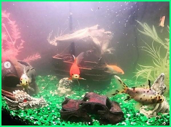aquarium ikan koki cepat banget kotor, aquarium ikan koki cepat keruh, cara merawat ikan koki aquarium, ikan mas koki di aquarium, gambar akuarium ikan mas koki, penyebab ikan koki mati di akuarium, suhu akuarium ikan mas koki