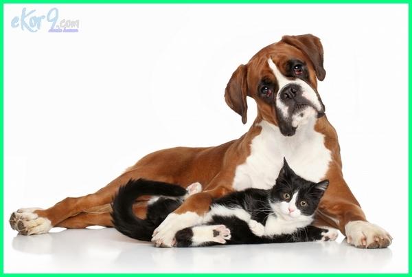 anjing penyayang kucing, anjing ramah kucing