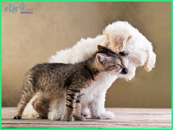 anjing dan kucing yang lucu, anjing yang bisa berteman dengan kucing