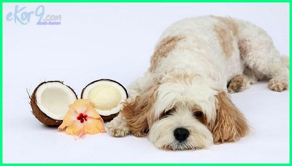makanan anjing terbaik, apa makanan anjing poodle, apa makanan anjing shih tzu, apa makanan anjing mini pom, apa makanan anjing kampung, apa makanan anjing siberian husky, apa makanan anjing husky, apa makanan anjing kecil, apa makanan anjing kintamani