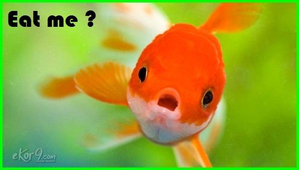 ikan mas koki bisa dimakan, eat goldfish, eating goldfish, can we eat a goldfish