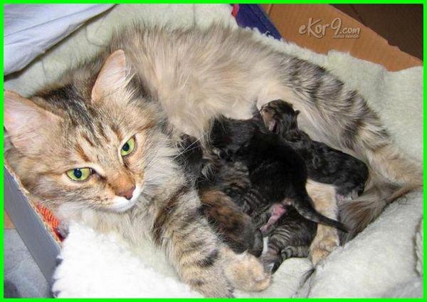 mandi kucing setelah melahirkan, kucing melahirkan boleh mandi, kucing baru melahirkan mandi, kucing setelah melahirkan boleh mandi, kucing habis melahirkan boleh mandi