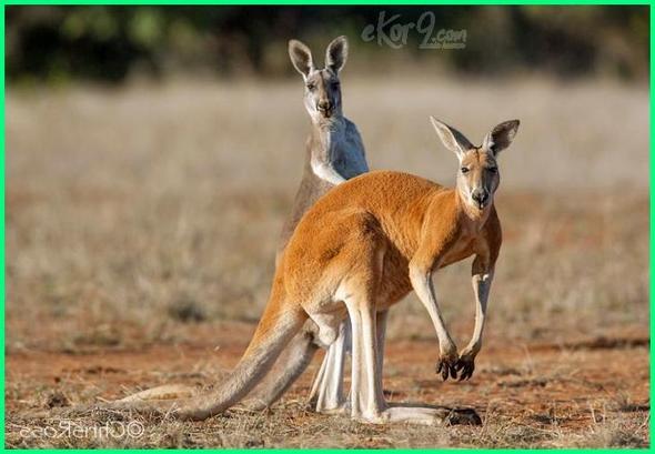 hewan tipe australia, kangguru australia