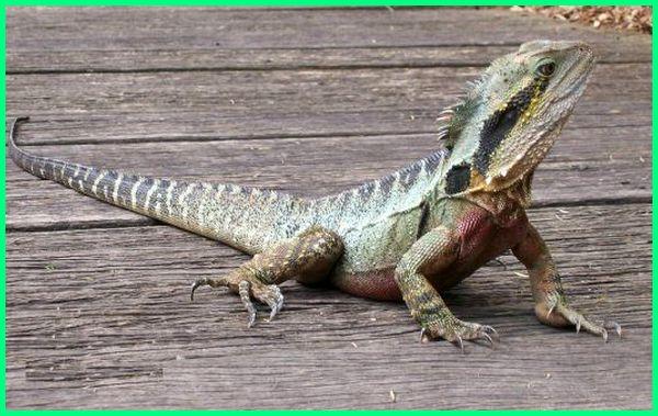 hewan-hewan khas australia