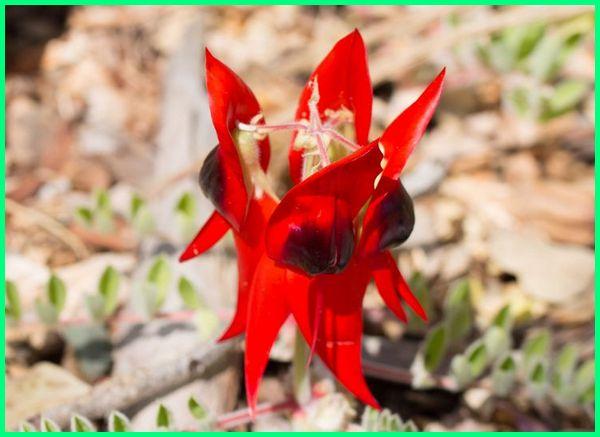bunga bunga di taman, berita australia, bunga jengger australia