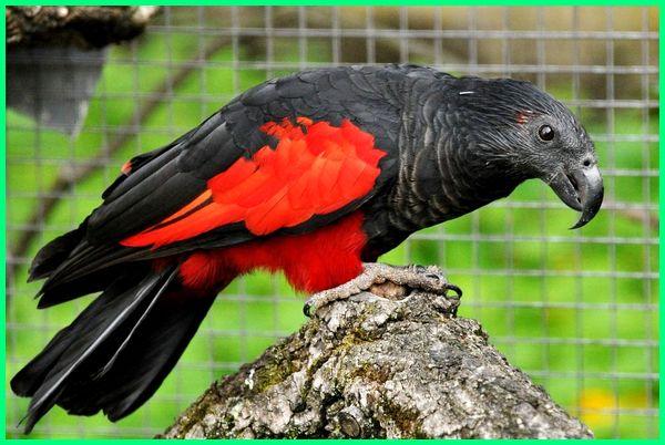 burung asal papua yang digolongkan langka adalah, jenis burung ocehan papua, burung terlindungi papua, burung tercantik papua, jenis burung papua yang dilindungi