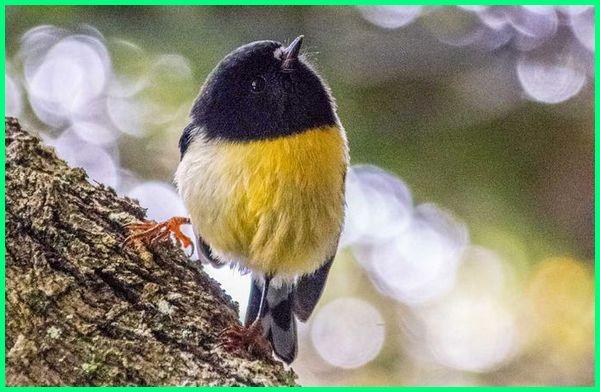 jenis burung di selandia baru, jenis burung kecil d selandia baru