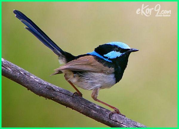 burung emprit australia, burung finch australia, burung impor australia, jenis burung di australia, burung khas australia, burung lyre australia, nama burung di australia, burung tipe australia, burung tipe australis yaitu
