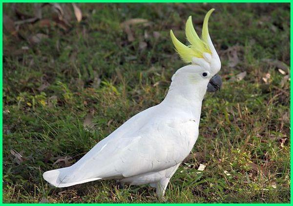 burung paruh bengkok asal australia, burung kakatua australia