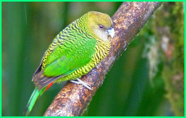 burung parkit papua