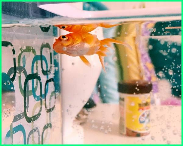 penyebab ikan mas koki mati di akuarium, agar ikan mas koki tidak cepat mati, cara memelihara ikan mas koki agar tidak mati, cara agar ikan mas koki tidak cepat mati, ciri ikan mas koki mau mati, cara memelihara ikan mas koki agar tidak cepat mati, ikan mas koki gampang mati, cara mengobati ikan mas koki yang hampir mati, kenapa ikan mas koki mati, kenapa ikan mas koki mudah mati