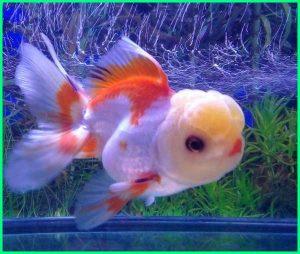 cara memilih ikan mas koki oranda, cara budidaya ikan mas koki oranda, cara perawatan ikan mas koki oranda, cara memelihara ikan mas koki oranda