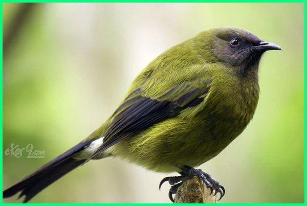 hewan di selandia baru, hewan endemik selandia baru, jenis hewan selandia baru, hewan langka di selandia baru, hewan yang ada di selandia baru