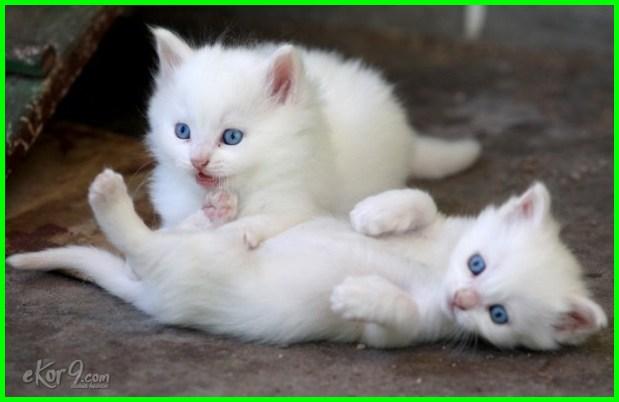 fakta kucing anggora, fakta unik kucing anggora