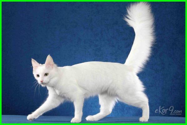 fakta fakta tentang kucing anggora, fakta tentang kucing anggora