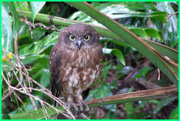 burung terkenal di australia, burung asal australia, burung dari australia, burung impor australia, burung khas australia tts, nama burung di australia