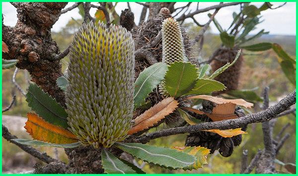 tanaman asli australia