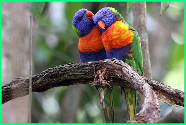 burung nuri australia