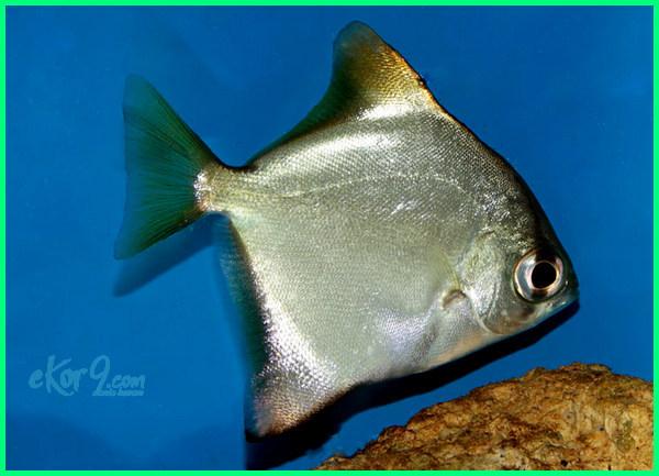 macam-macam ikan air tawar indonesia