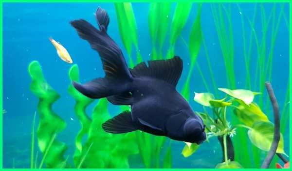ikan black moor, ikan koki black moor jantan, makanan ikan black moor