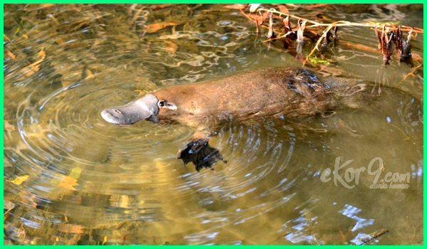 platipus, platipus adalah, gambar platypus, habitat platypus