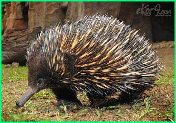 hewan bercorak australia