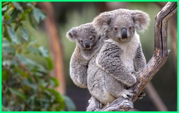 koala binatang khas australia