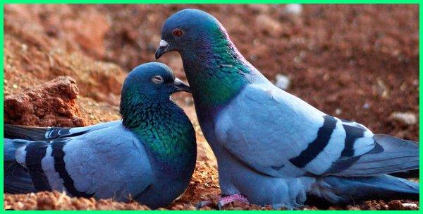 hewan simbol kesetiaan, kesetiaan merpati, cinta setia sampai mati