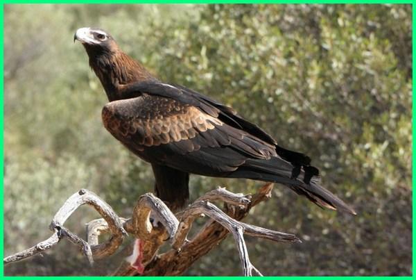 hewan liar australia, hewan asli negara australia, hewan di negara australiam hewan tipe oriental australia, hewan region australia, hewan unik australia, ciri ciri hewan wilayah australia, wallpaper hewan australia