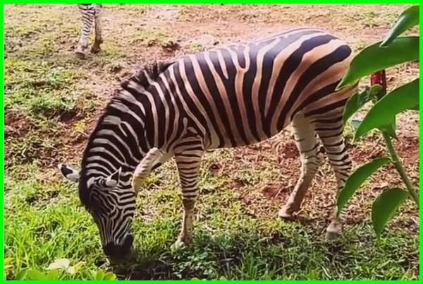 kebun binatang di bandung, wisata kebun binatang bandung, gambar kebun binatang bandung, daftar hewan di kebun binatang bandung, hewan yang ada di kebun binatang bandung