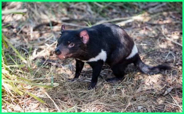 hewan di negara australia