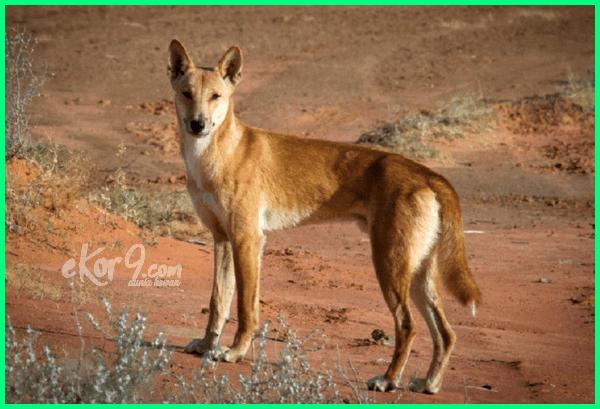 anjing liar Australia