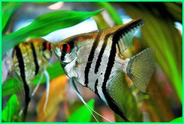 jenis ikan untuk aquascape