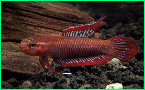 jual ikan cupang langka dari Indonesia, Betta burdigala