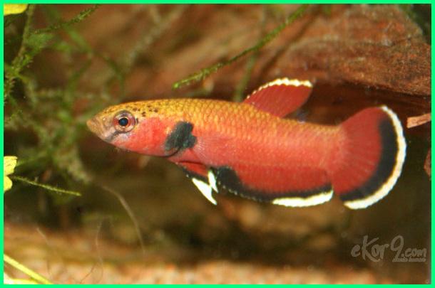 jenis ikan cupang dari indonesia, ikan cupang alam liar indonesia, ikan cupang kepala ular, ikan cupang yang bagus, Ikan Cupang Channoides, Snakehead Betta