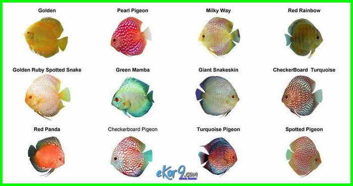 jenis ikan yang cocok dengan discus, jenis ikan discus dan gambarnya, jenis dan gambar ikan discus, daftar harga jenis ikan discus, harga dan jenis ikan discus, nama dan jenis ikan discus