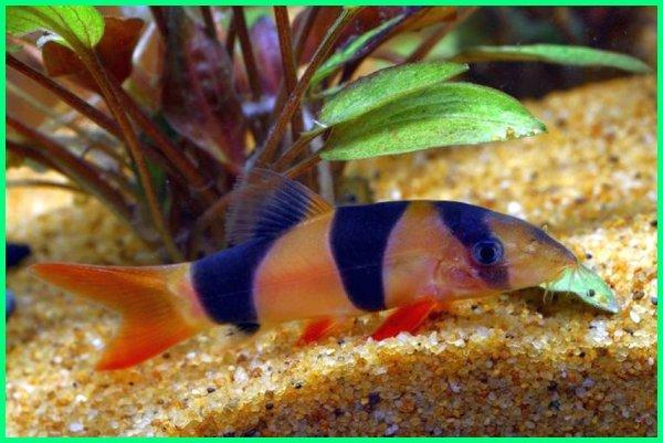 jenis jenis ikan hias air tawar murah, jenis-jenis ikan hias air tawar aquarium, jenis jenis ikan hias air tawar aquascape, jenis ikan hias air tawar di aquarium, jenis ikan hias air tawar asli indonesia