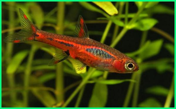 ikan hias air tawar asli perairan indonesia yang telah populer